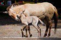 У Техасі вперше клонували коня Пржевальського