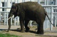 Киевский зоопарк показал фотографии подросшего слоненка Хораса