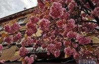 В Ужгороді цвітуть сакури