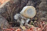 Індійські фотографи врятували вовка, який застряг у пластиковому контейнері