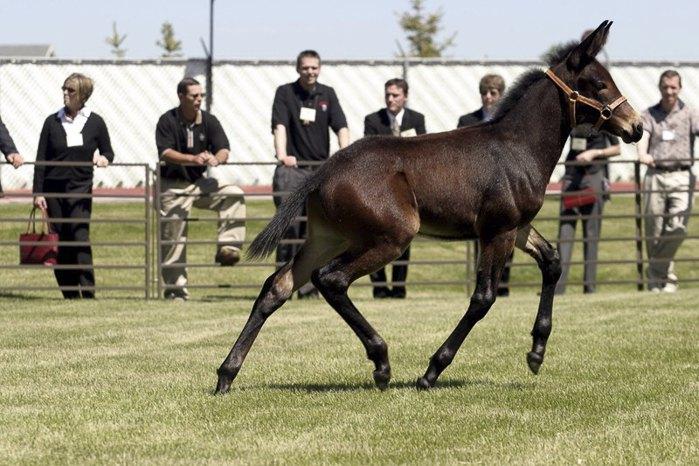Співробітники університету Айдахо створили перший клон мула - Мул Айдахо в 2003. Це перший представник родини конячих, якого вдалося клонувати. Від коня він успадкував розміри і швидкість, від осла - витривалість і працездатність.
