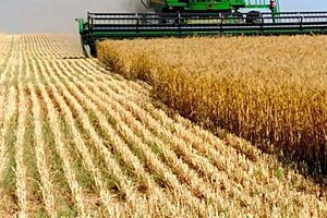 Крымские аграрии жалуются на очень плохой урожай зерна