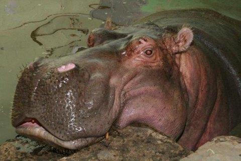 В Киевском зоопарке умер самый старый бегемот в мире