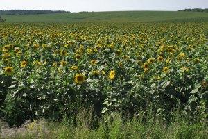 Росія заборонила сою, соняшник і кукурудзяну крупу з України