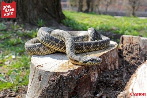 Надетской площадке вКиеве отыскали редкую змею