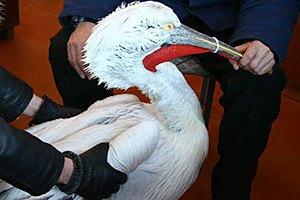 В Керчи спасли от морозов пеликана