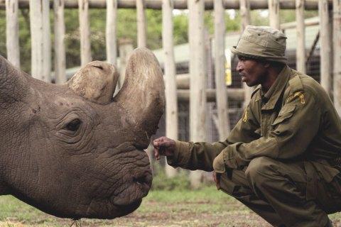 Единственный самец белого носорога скончался вКении