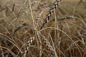 Азаров рассчитывает на рекордный урожай зерна