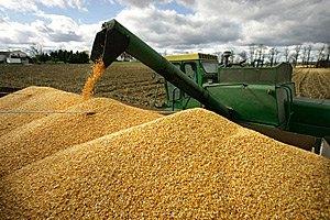 В Україні почали збирати кукурудзу