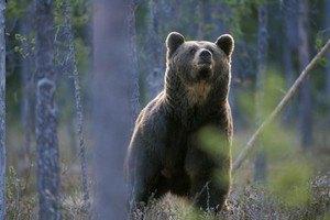 В Прикарпатье мужчина попал в реанимацию после встречи с медведем