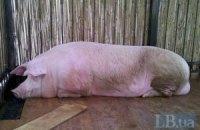 Кнур-віщун після всього пережитого повернувся на ферму