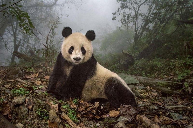 16-летняя гигантская панда в центре охраны дикой природы, Китай.