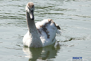 В пруду одного из одесских парков поселились лебеди и... черепахи