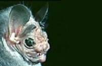 Некрасивые летучие мыши оказались очень кусачими