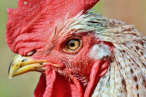 На Киевщине зарегистрирован новый случай птичьего гриппа