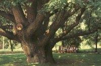 Воры спилили 200-летний дуб ради древесины