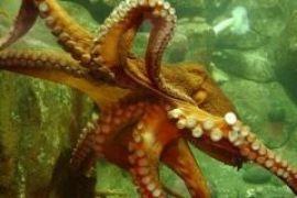 Итальянцы дали новое имя осьминогу Паулю