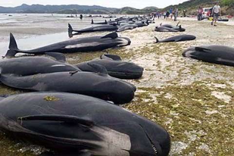 В штате Джорджия отдыхающие спасли 18 черных дельфинов, выбросившихся на берег