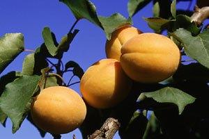 Украина потеряла урожай персиков и абрикос