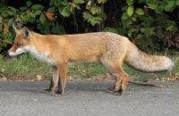 У Миргороді ввели карантин через скажену лисицю