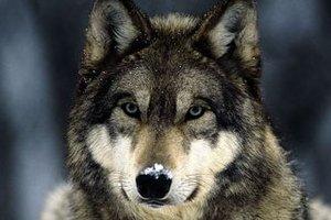 Волки в шведском зоопарке загрызли сотрудницу