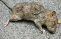 Крысы, 20 дней питавшиеся сухариками и чипсами, умерли от некроза конечностей