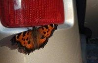 Киев заполонило огромное количество бабочек