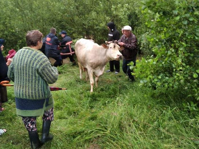 Рятувальники визволяли корову, яка опинилася у водній пастці в м. Болехів