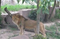 В тернопольском зоопарке лев ударил лапой подростка