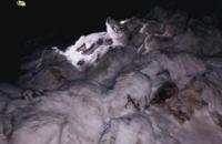 В Харькове на свалку выбросили трупы зараженных АЧС свиней