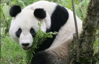 Пятничная панда #94