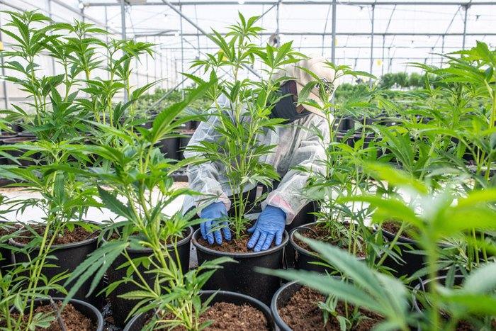 Вирощування медичної марихуани на Pharma Revadim, Лод, Ізраїль.
