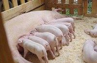 Поголовье украинских свиней начало сокращаться