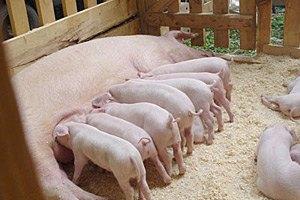 """Совладельцы """"Каравана"""" займутся свиньями"""