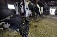 На Волыни неизвестное заболевание поразило крупный рогатый скот