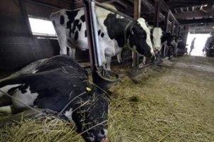 На Волині невідоме захворювання вразило велику рогату худобу