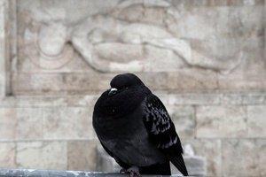 Заступник мера Сум запропонував позбавити місто голубів за допомогою вина