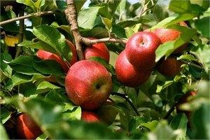 Учені створили детектор стиглості фруктів