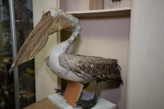 Опудало пелікана в експозиції Луганського обласного краєзнавчого музею
