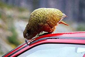 Ученые назвали цвета автомобилей, привлекающие птиц
