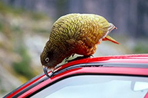 Учені назвали кольори автомобілів, що приваблюють птахів