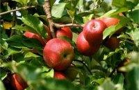 Украине обещают рекордный урожай яблок