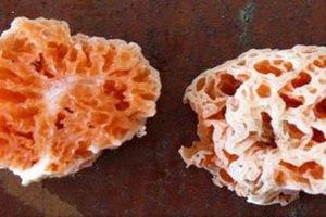 В честь Спанч Боба назвали новый вид грибов