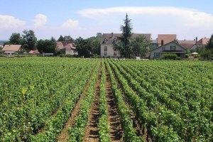 Україна втратила до 15% урожаю винограду через погоду