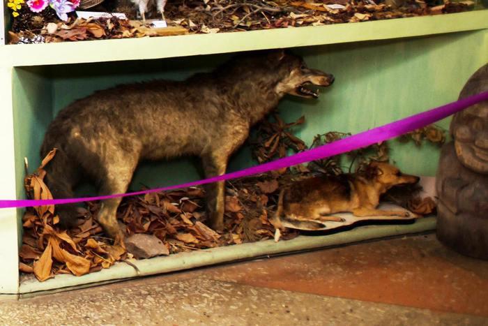 Опудало собаки в експозиції Лиманського краєзнавчого музею