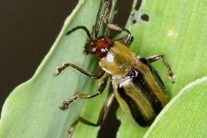 Росія може обмежити ввезення сільгосппродукції з України через жуків
