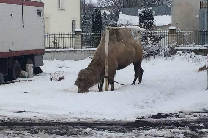 Грузинский цирк-шапито забыл вгосударстве Украина верблюда