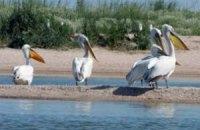 В Перу массово гибнут пеликаны