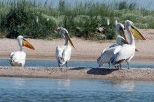 У Перу масово гинуть пелікани