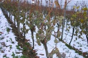 Морозы уничтожили четверть урожая украинского винограда
